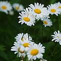 Daisy by Crystal Harman
