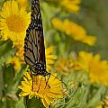 Daisy Daisy Give Me Your Anther Do by Gary Holmes
