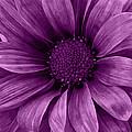 Daisy Daisy Grape by Angelina Vick