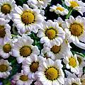 Daisy Daisy by Lisa Byrne