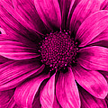 Daisy Daisy Neon Pink by Angelina Vick