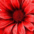 Daisy Daisy Neon Red by Angelina Tamez