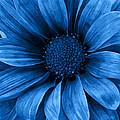 Daisy Daisy Pure Blue by Angelina Vick