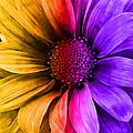 Daisy Daisy Yellow To Purple by Angelina Vick
