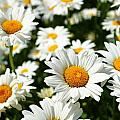 Daisy Day by Catie Canetti
