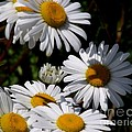 Daisy Days by CapeScapes Fine Art Photography