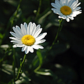 Daisy Days by Suzanne Gaff