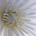Daisy Dream Glow by Joseph Hedaya