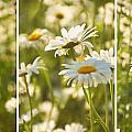 Daisy Dreams by Leda Robertson