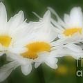 Daisy Flower Trio by Smilin Eyes  Treasures