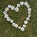 Daisy Heart by Tim Gainey