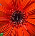 Daisy In Full Bloom by Frozen in Time Fine Art Photography