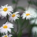 Daisy by Linda Kerkau