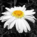 Daisy May  by Sheri Copeland
