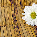 Daisy On Bamboo by Maria Dryfhout