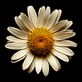 Daisy On Black Square by Weston Westmoreland