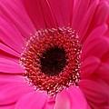 Daisy Pink by Carol Lynch