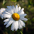 Daisy by Pkm digital Photography