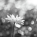 Daisy Rain by Theresa Tahara