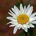 Daisy by Randy Shannon
