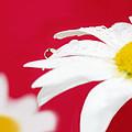 Daisy Reflecting On Red V2 by Lisa Knechtel