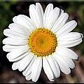 Daisy by Sharon Horn