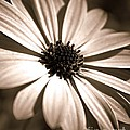 Daisy Shimmer by Clare Bevan