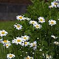 Daisy Splendor by Jeanette C Landstrom