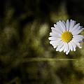 Daisy by Steve Ball