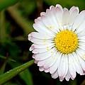 Daisy Sun by Kelly Lees
