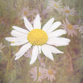 Daisy Textured by Cynthia Woods
