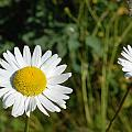 Daisy Twins by Jan Piet