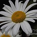 Daisy by William Norton