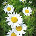 Daisy's  by Honour Hall