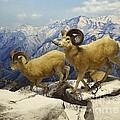 Dall Sheep Diorama by Cindy Manero