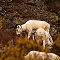 Dall Sheep Grazing by Jeff Folger