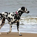 Dalmatian By The Sea by Gordon Auld