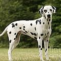 Dalmatian Dog by Jean-Michel Labat