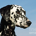 Dalmatian Dog by John Daniels