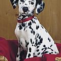 Dalmatian In Basket A108 by Greg Cuddiford