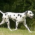 Dalmatian Running by Jean-Michel Labat