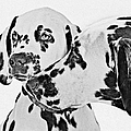 Dalmatians - A Great Breed For The Right Family by Christine Till