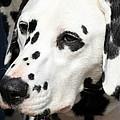 Dalmation Portrait