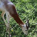 Dama Gazelle - National Zoo - 01137 by DC Photographer
