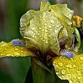 Damp Bluebeard by Susan Herber