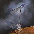 Damselflies Mating by Steven Schwartzman
