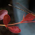 Damselfly On End Of Burning Bush Stem             Summer               Indiana by Rory Cubel