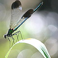 Damselfly On Little River  by Neal Eslinger