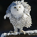 Dance Of Glory - Snowy Owl by Inspired Nature Photography Fine Art Photography