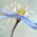 Dancing Anemones by Heidi Westum